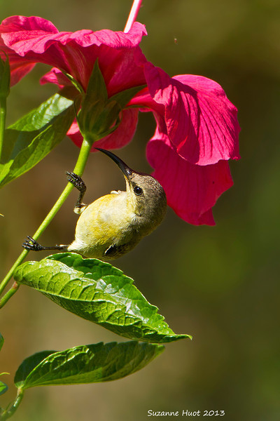 Purple Sunbird, Female.