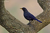 Blue Whistling Thrush .