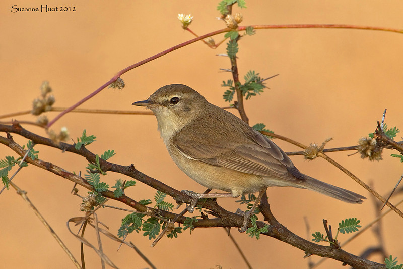 Booted Warbler.