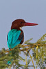 White Throated Kingfisher .