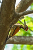 Greater Goldenback  Woodpecker.