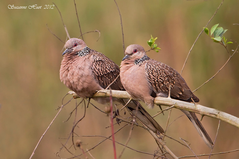 Pair of Spotted Doves