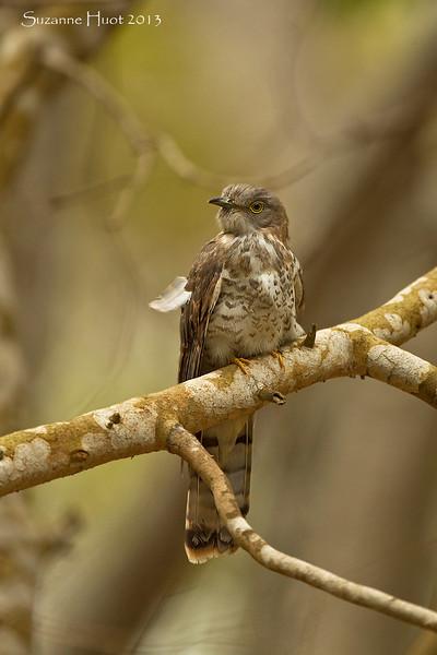 Common Hawk Cuckoo.