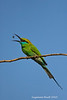 Green Bee-Eater tossing Bee