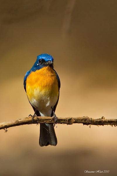 Tickell's Blue flycatcher .