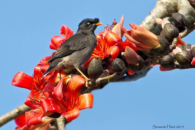 Jungle Myna on Flame tree blossom.