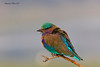 Indian Roller  or Blue Jay .