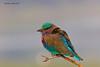 Indian Roller  or Blue Jay .