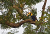 Great Hornbill in his habitat .