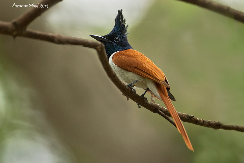 Asian Paradise-Flycatcher .Female.
