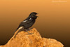 PIED BUSHCHAT ,MALE . IN BREEDING PLUMAGE  .
