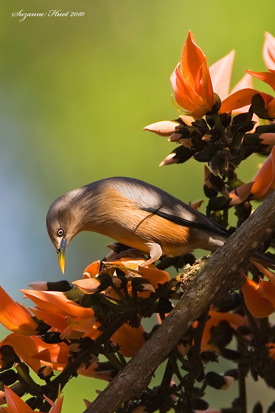 Colour coordinated Brahminy Starling .