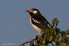 Asian Pied Starling .