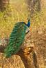 Peacock  .