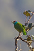 Blue-Throated Barbet .