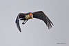 Lesser Adjutant stork in flight .