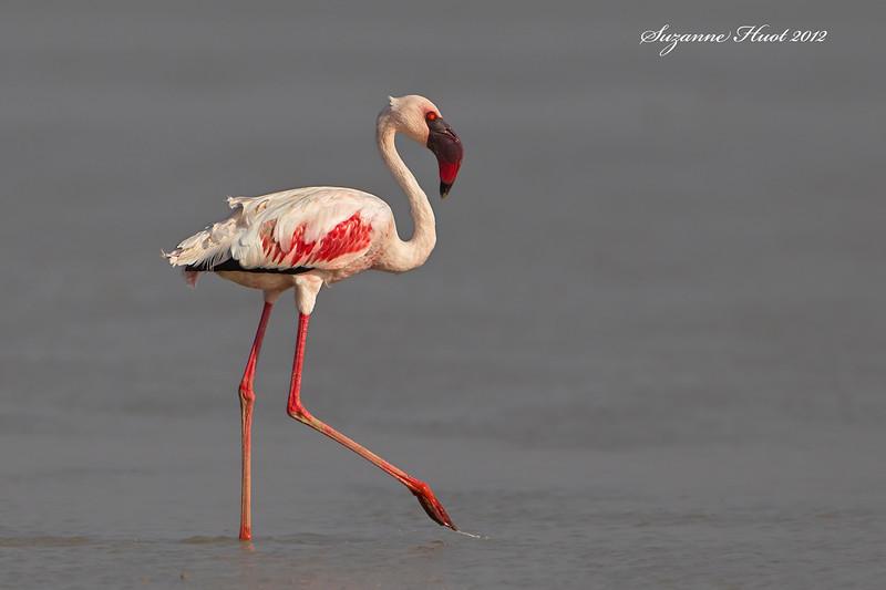 Lesser Flamingo Adult plumage.