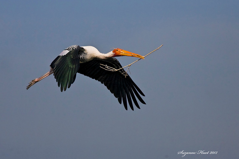 Painted Stork with nesting materials .