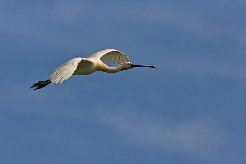 Eurasian Spoonbill in flight ..