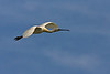 Eurasian Spoonbill in flight ..