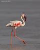 Lesser Flamingo.