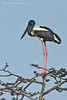 Black-Necked Stork.