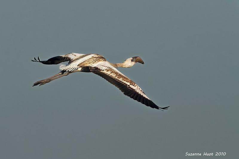 Lesser Flamingo ,juvenile.