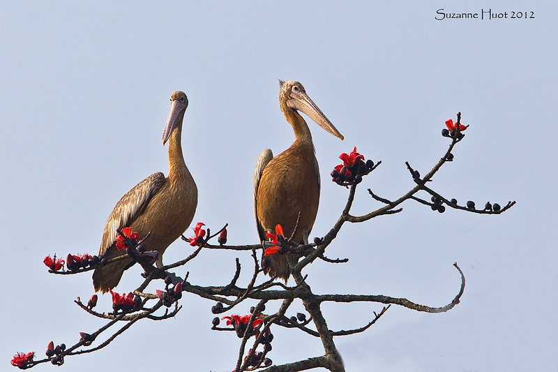 A pair of Spot-Billed Pelicans  on an unusual  perch high up in a Flame tree.in the Forest ,