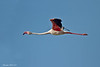Lesser Flamingo in flight .