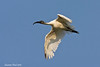 Black-Headed Ibis.