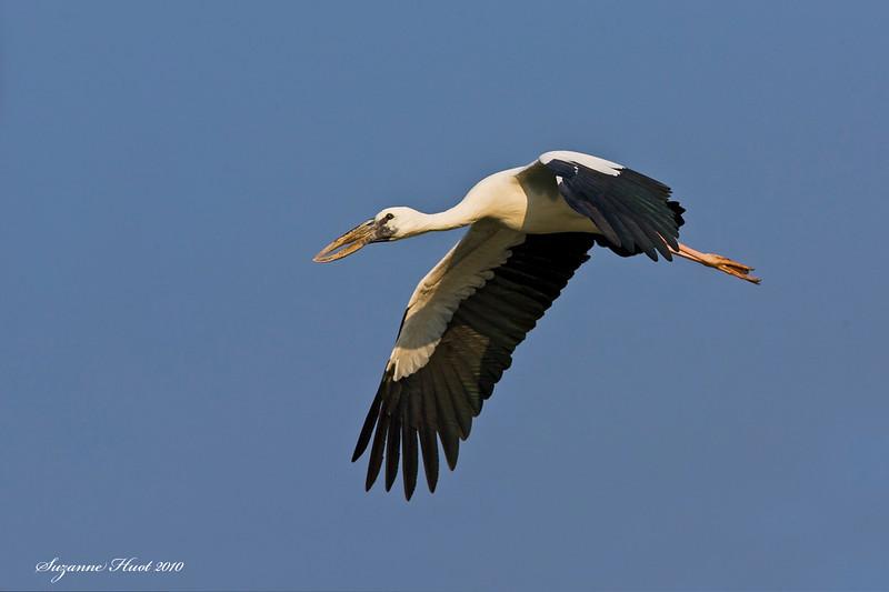 Asian Openbill in flight .