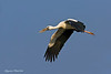 Asian Openbill in flight .