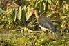Lesser Adjutant Stork.