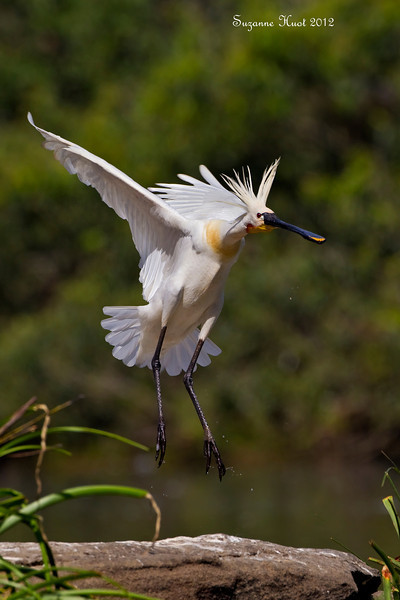 Eurasian Spoonbill on final .