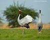 Sarus Cranes courting