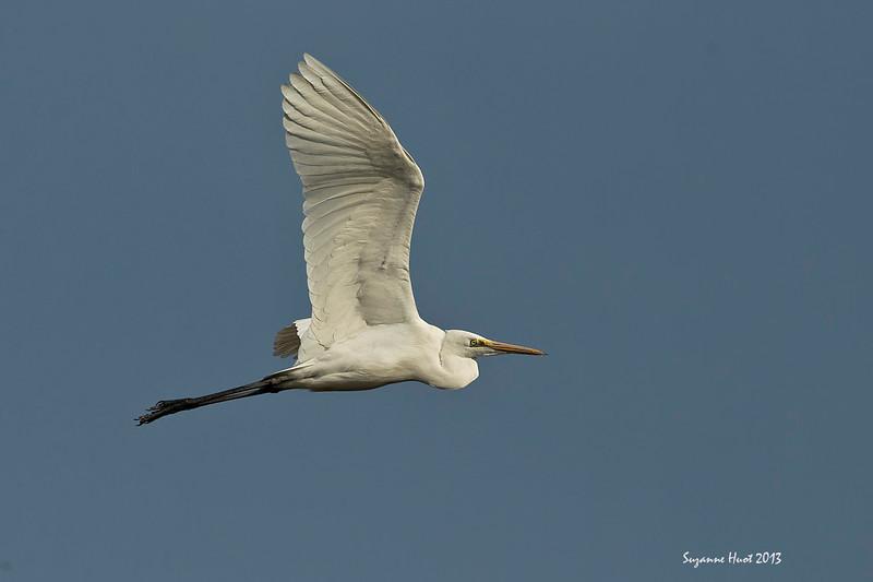 Great Egret .