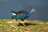 Purple Swamphen.