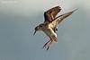 Common Redshank.