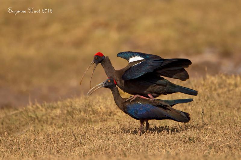 Black Ibis ,mating.