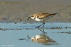 Lesser Sand Plover with winkle.