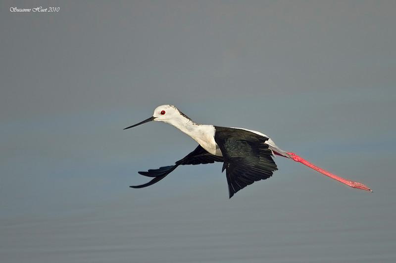 Black-winged Stilt in flight.