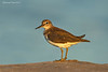 Common Sandpiper.