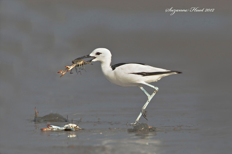 Crab Plover ,A shorebird that is unique by being in a class  it's own .