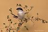 Southern Grey Shrike .