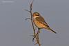 Brown Shrike.