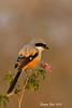 Long-Tailed Shrike on lantana flower.