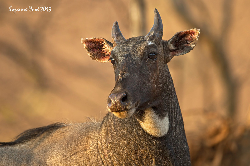Nilgai or Blue Bull .Largest of the Asian antelopes.Only the male has horns..