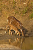Spotted Deer and Fawn reflection at the water hole.
