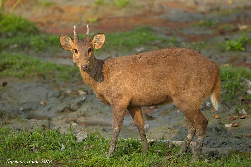 Hog Deer, Stag growing his antlers for the season's rut.