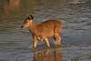 Sambar Fawn at the lake in Ranthambore National Park. Gujarat State.